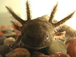 The axolotl is an endemic species from the central part of Mexico