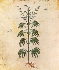 Cannabis sativa from Vienna Dioscurides, c. 512 CE