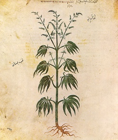 Cannabis sativa from Vienna Dioscurides, 512 AD.
