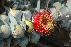 The leaves, buds, and young stalks of Eucalyptus macrocarpa are glaucous, covered with a thick waxy pruinosity.