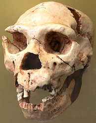 Skull number 5 of Homo heidelbergensis, it appeared in the 1992 campaign, extracted from the Atapuerca Mountains.