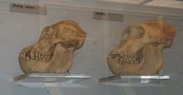 Skulls of an orangutan and a gorilla