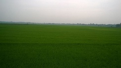Paddy field in West Bengal, India