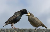 Starling Feeding Offspring.jpg