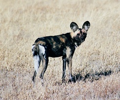 The endangered African wild dog in Central Kalahari Game Reserve
