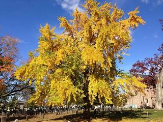 Дерево гинкго осенью на кладбище Пресвитерианской Церкви в Юинге (Ewing), штат Нью-Джерси