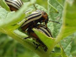 Спаривание жуков