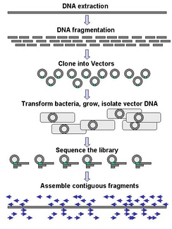 Genomic DNA is fragmented into random pieces and cloned as a bacterial library. DNA from individual bacterial clones is sequenced and the sequence is assembled by using overlapping DNA regions.(click to expand)