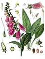 Наперстянка пурпуровая