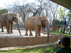 African elephants at the Barcelona Zoo