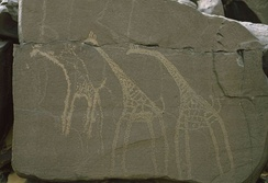 Example of Saharan rock art depicting giraffes from Anakom, Niger.