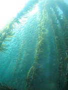 Kelp forest and sardines