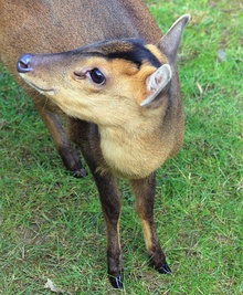 Female Reeves's muntjac at Prague Zoo
