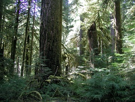 Old-growth forest in the Opal Creek Wilderness, a wilderness area located in the Willamette National Forest in the U.S. state of Oregon, on the border of the Mount Hood National Forest. It has the largest uncut watershed in Oregon.[46]
