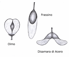 Wind dispersed seed of elm (Ulmus), ash (Fraxinus) and maple (Acer)