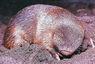 Semi-fossorial wombat (left) vs. fully fossorial golden mole (right)