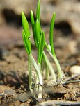 Allium ursinum seedlings2.jpg