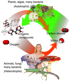 Overview of photosynthesis and respiration. Carbon dioxide (at right), together with water, form oxygen and organic compounds (at left) by photosynthesis, which can be respired to water and (CO2).