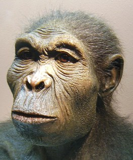 A reconstruction of Homo habilis