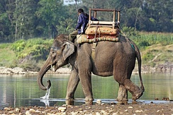 Elephants are used for safari tourism throughout Asia