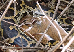 Indian python unhinges its jaw to swallow large prey like this chital