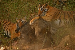 Tigers killing a wild boar in Kanha Tiger Reserve