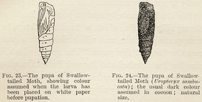 Experiment by Poulton, 1890: swallowtailed moth pupae with camouflage they acquired as larvae