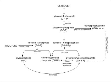 Figure 6: Metabolic conversion of fructose to glycogen in the liver