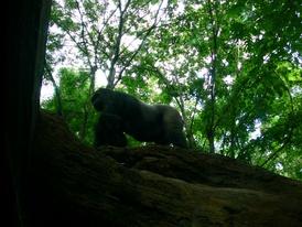 Горилла-вожак на дереве