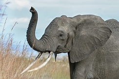 African elephant with its trunk raised, a behaviour often adopted when trumpeting