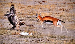 Doe defending dead fawn from eastern imperial eagle