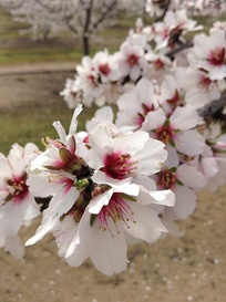Almond blossoms along the Fresno County Blossom Trail
