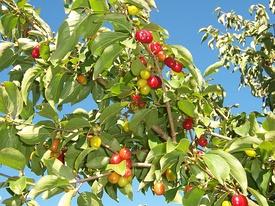 CornusMas Fruits 01.jpg
