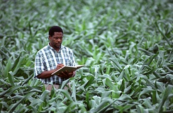 An Agriculturist doing routine check-up of agronomic crops