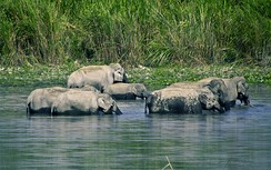 A family of elephants bathing, a behaviour which reinforces social bonding