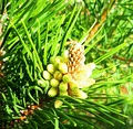 Flowering young pine cones