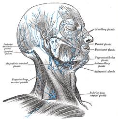 Lymph nodes of the head and neck, from Gray's Anatomy (click image to enlarge)