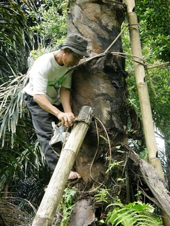 Tapping the sugar palm