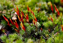 Red moss capsules, a winter native of the Yorkshire Dales moorland