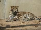 Цейлонский леопард (Panthera pardus kotiya)