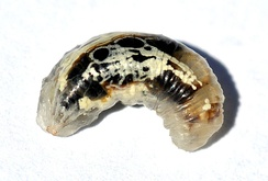 Larva of Syrphid fly, member of Cyclorrhapha, without epicranium, almost without sclerotisation apart from its jaws.