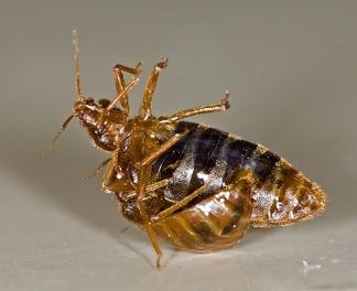 Один постельный клоп (Cimex lectularius) травматически осеменяет другого