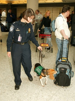 Beagles have excellent noses; this dog is employed by the US Customs and Border Protection Agency.