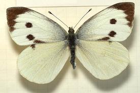 Pieris.brassicae.female.mounted.jpg