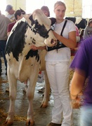 Showing a Holstein cow
