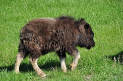 Телёнок овцебыка