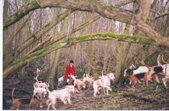 Master or whipper-in and fox hounds drawing a wood. Hunting in Yorkshire, northern England, in 2005, on the last day of fully legal, proper, fox hunting.