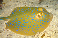 A bluespotted stingray seen in the coasts of the province