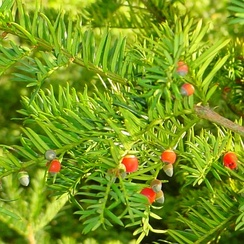 The yew tree is still very important in Asturian folklore, where it stands as a link to the afterlife and is commonly found planted beside churches and cemeteries.