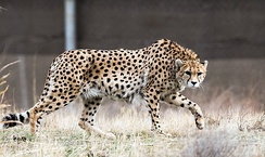 The Asiatic cheetah, a critically endangered species lives only in Iran.